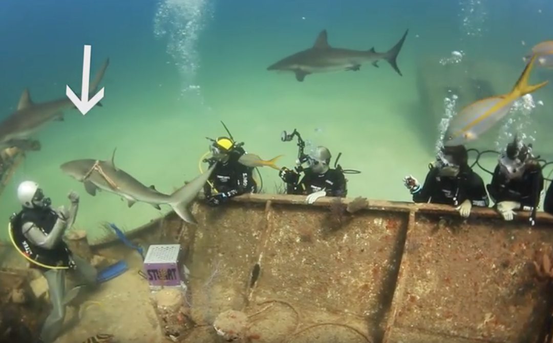 Shark asks divers for help